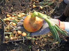 Po obyčajnej sóde rastie cibuľa ako divá: Žiadne háďatká, pleseň a úrody máme 2x toľko! Garden Care, Onion, Carrots, Flora, Diva, Pumpkin, Vegetables, Fruit, Vegetable Gardening