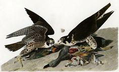 Audubon-peregrinus - Faucon pèlerin — Wikipédia