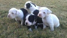 American bulldog pitbull mix puppies, my brother has an albino one that is deaf.