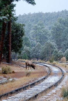 Elk Grazing By Tracks