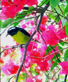 A Bananaquit - Nevis, West Indies