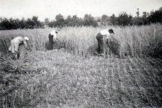 Het oogsten met de hand 1946.