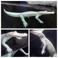 Our albino alligator, Luna, has a new home! She now resides with our three American alligators across the conservatory.