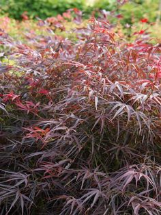 Fächer-Ahorn 'Red Pygmy' • Acer palmatum 'Red Pygmy' • Pflanzen & Blumen • 99Roots.com