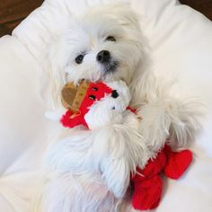 """I've never seen another pup love new toys as much as Bailey. Every time we bring one home, she says """"Is that for me?? meeeeee✋!!! ・・・ #viking #toys #toy #arodwang #maltese #puppylove #dogsofinstagram #doglover #whitedog #fluffy #boy #popsugarpets #love #puppy #raisblack #bestofpack #cute #말티즈 #マルチーズ #dog #dogmodel #犬 #狗"""