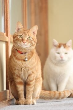 cybergata:  Ginger Cat and Shironeko.