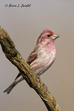 With Purple Finches on the move this fall, can you identify them at your feeders?