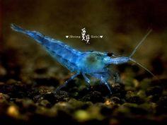 """""""Blue fairy shrimp"""" or blue velvet shrimp, neocaridina heteropoda"""