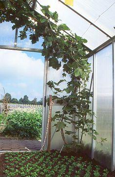 Wein- und Gemüseanbau vertragen sich gut  im Gewächshaus
