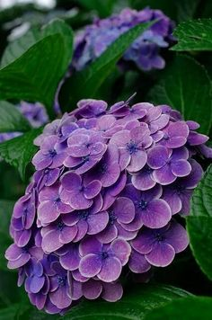 Flowers and Gardening. Helpful Organic Gardening Information, Advice, And Tips. Tending to an organic garden can be a highly rewarding and calming activity that anyone can participate in. Hydrangea Paniculata, Hortensia Hydrangea, Hydrangea Garden, Hydrangea Flower, Hydrangeas, Amazing Flowers, Purple Flowers, Beautiful Flowers, Trees And Shrubs