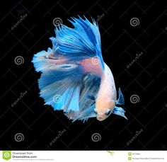 siamese fighting fish | White and blue siamese fighting fish, betta fish isolated on black ...