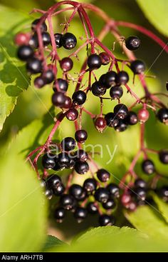 COMMON NAME: Elderberry LATIN NAME: Sambucus nigra Stock Photo, Picture and Royalty Free Image. Pic. 9174730
