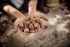 These are dried argan fruits. Berber women were the  first to discover argan oil for it's medicinal and cosmetic qualities