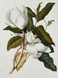 Botanical Wall Art - Painting - Magnolia by Georg Dionysius Ehret Vintage Botanical Prints, Botanical Wall Art, Botanical Drawings, Botanical Flowers, Silk Flowers, Art Floral, Arte Naturalista, Watercolor Flowers, Watercolor Art