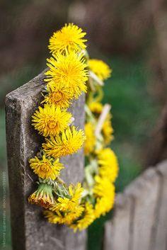 Yellow flower wreath by Babett Lupaneszku - Stocksy United Dandelion Yellow, Dandelion Wish, Flower Fairies, My Flower, Picking Wild Flowers, Yellow Accent Walls, Yennefer Of Vengerberg, Taraxacum, Rustic Fence
