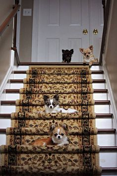 Chihuahua Puppies on Stairs on Etsy, $15.00