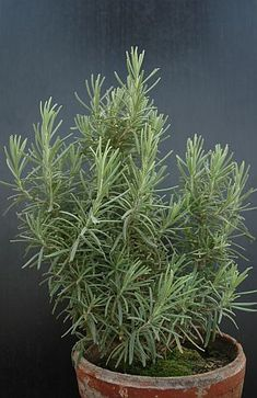 Rosmarinus officinalis - rozmarýn (TIP ZC CS)