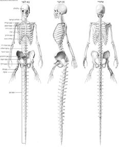"""Skeleton and muscular system of a mermaid. According to the original caption, the """"Hebrew   script indicates this drawing is either based on another, much older work predating Latin or Arabic anatomy texts, or merely a modern fabrication   attempting to imply antiquity or obscurity."""""""