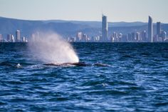 Whale Watching #GoldCoast #Australia http://holidaybays.com/6-things-to-do-in-the-gold-coast-queensland-australia/