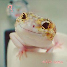 589_tomo インスタを開くたびにフォロワーさんがめっちゃ増えてます 海外の方が多いので、よく状況がわかりません 琥珀さん、今日はご飯の日✨ もうすぐ帰るから待っててね #leopardgecko #レオパードゲッコー #ヒョウモントカゲモドキ #爬虫類 #かわいい #いやし 2017/07/20 20:41:33 Lepord Gecko, Leopard Gecko Cute, Baby Leopard, Happy Animals, Animals And Pets, Funny Animals, Cute Animals, Cute Reptiles, Reptiles And Amphibians