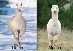 Here are our favorite pairs of confoundingly confusing critters and how to tell the difference. #animals #llamas #alpacas