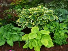 Hosta+Bed+Ideas | HyperMotion Design and Landscape - Plants and Flowers