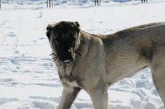 Kangal Dog on Pinterest | Anatolian Shepherd, Dogs and Dog Breeds