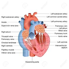 Human Heart And Lungs Diagram 1998 Dodge Ram 2500 Speaker Wiring 223 Best Images In 2019 Health Nurses Nursing Simple For Kids Pictures Labeled Anatomy
