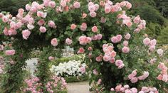 David Austin Climbing Roses Few flowers are as stunning as a David Austin rose, and when you grow David Austin Climbing Roses, David Austin Roses, Climbing Flowers, Climbing Vines, Small White Flowers, Elegant Flowers, Fast Growing Climbers, Climbing Plants Fast Growing