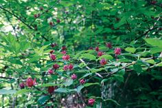 Sunless Success: 15 Great, Easy-to-Grow Shrubs for Shade | Virginia Gardener Web Articles