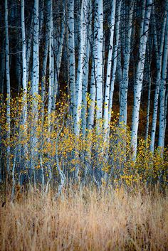 aspens, Kebler Pass, Crested Butte, Gunnison National Forest, Colorado | Adam Schallau