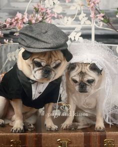 Oliver and Gretta de pug wedding march 2013 let us pray pugs and kisses blog