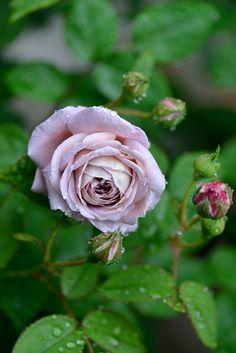 Hybrid Tea Rose: Rosa 'Gletscher' (Germany, 1955)