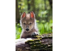 Wolves and a Window of Opportunity for Ecosystems