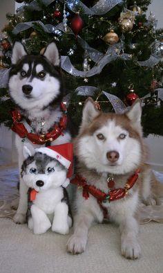 Kalihi & Maya - Christmas 2011 #huskies #husky #siberianhusky…
