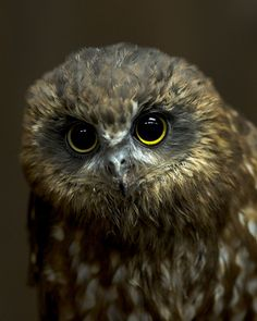 Chouette tachetée de Tasmanie - A Morepork Owl from new Zealand. The sound they make when they call is how they got their name ! The Animals, Funny Animals, Beautiful Owl, Animals Beautiful, Kiwiana, Wise Owl, Tier Fotos, Birds Of Prey, Flying Birds
