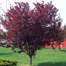 Malus x moerslandii Profusion Improved - Flowering Crab apple