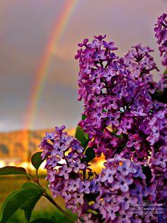 lilac-rainbow-768.jpg (576×768)