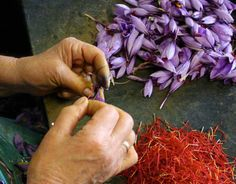 The triploid saffron is male sterile and is propagated vegetatively by splitting the corms that grow in a colony, meaning that all saffron plants in the world are nearly genetically identical clones (like tarragon and fellow monocots banana and garlic; Alsayied et al. 2015).