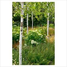 silver birch underplanted with hydrangea and grasses