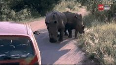 Yep, it's all cute until they get into their teenage prankster phase… | 13 Baby Rhinos Being Rambunctious
