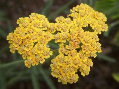 Yellow Yarrow Flower, a wild growing flowering weed and herb, yarrow was used by Achilles and his warriors in the Trojan War to staunch the bleeding of their wounds. It is named after Achilles (Achillea millefolium) who was also a student of medicine under Charon. Yarrow was also used in folkloric love divinations, sewn into a satchel, when placed under one's bed was supposed to give dreams of one's true heart or future mate.
