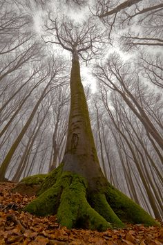 The Beech Tree with a Human Face - photography by Leszek Paradowski