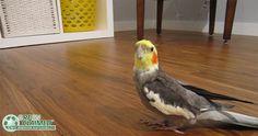 Bobbee Bird the parakeet loves the new GreenClaimed Eucalyptus flooring. - Samantha T.'s Project