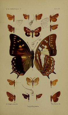 Illustration of butterflies from Biodiversity Heritage Library