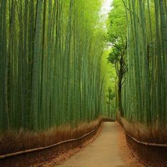 Bamboo Forest, Kyoto, Japan.