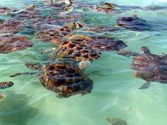 The turtles in George Town - Grand Cayman Islands