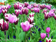 Pink red and white Tulips Missouri Botanical Garden Kibibi Photography Missouri Botanical Garden, White Tulips, Dream Garden, All Pictures, Pink Purple, Red And White, Bloom, Flowers, Plants