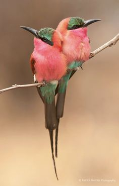 Cuddling Carmines, beautiful bee eaters native to Central Africa | by Patrick Bentley