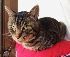おはムサシ 朝の自宅警備Watchman. #musashi #mck #cat #キジトラ #ムサシさん by _daisy